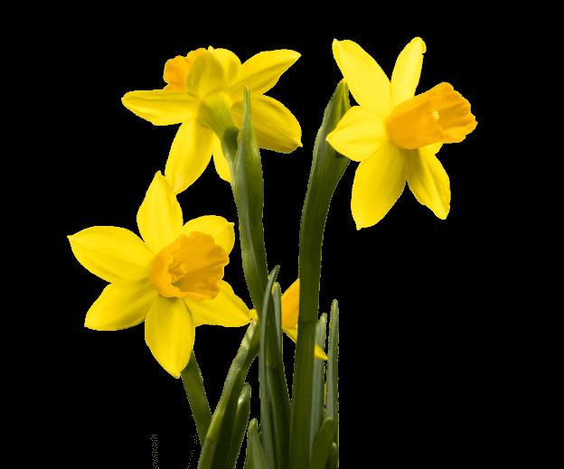 cutout image of yellow daffadils