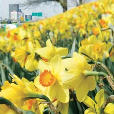 Field of daffodils in Louisville Kentucky