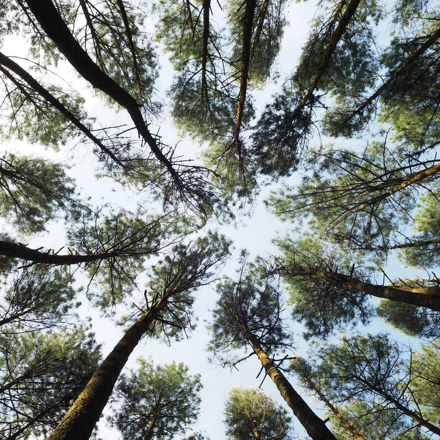 Looking at trees from underneath
